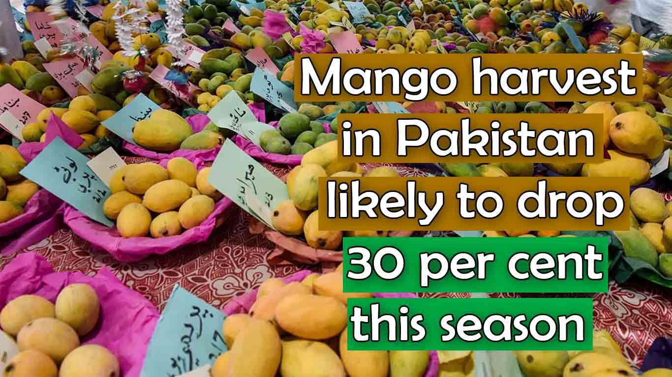 Mango harvest in Pakistan is likely to drop 30 per cent this season
